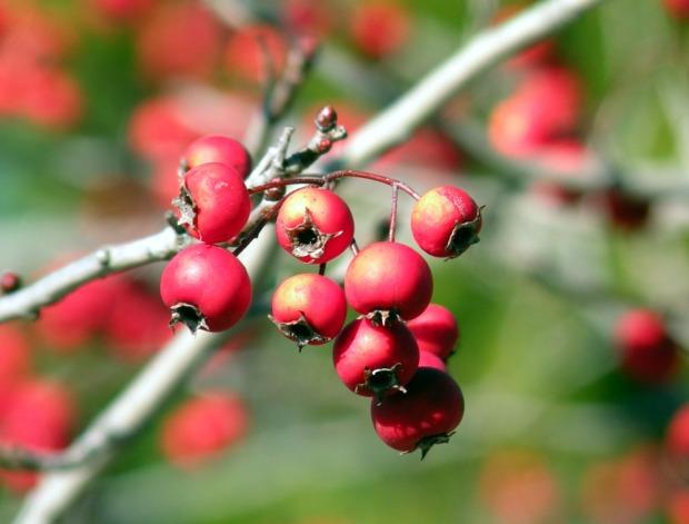 hawthorne berries close 6 Jan 12