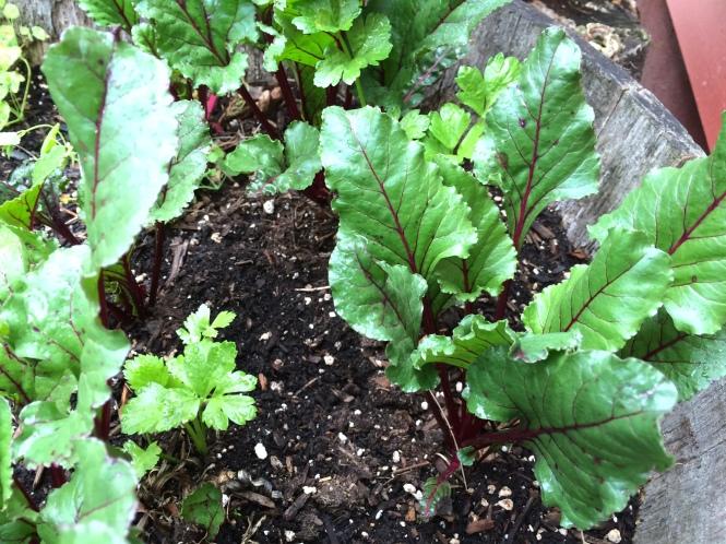 beets-in-garden